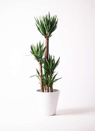 観葉植物 ユッカ 10号 フォリオソリッド 白 付き