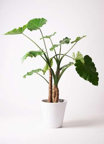 観葉植物 クワズイモ 10号 フォリオソリッド 白 付き
