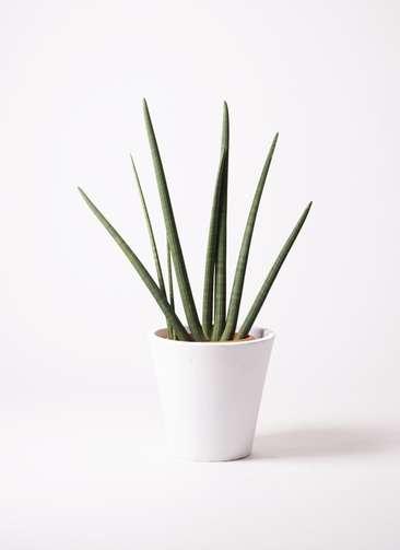 観葉植物 サンスベリア スタッキー 10号 フォリオソリッド 白 付き
