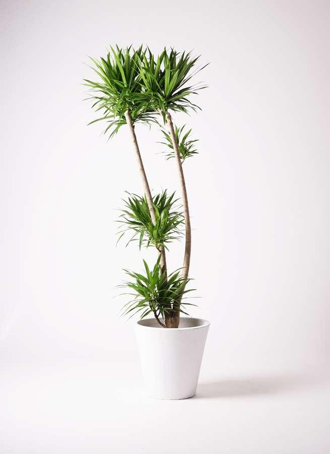 観葉植物 ドラセナ ナビー 10号 股作り フォリオソリッド 白 付き