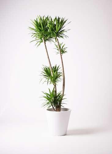 観葉植物 ドラセナ ナビー 10号 フォリオソリッド 白 付き