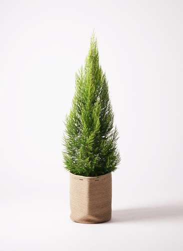 観葉植物 ゴールドクレスト 10号 リブバスケットNatural 付き