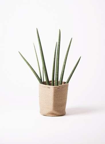 観葉植物 サンスベリア スタッキー 10号 リブバスケットNatural 付き