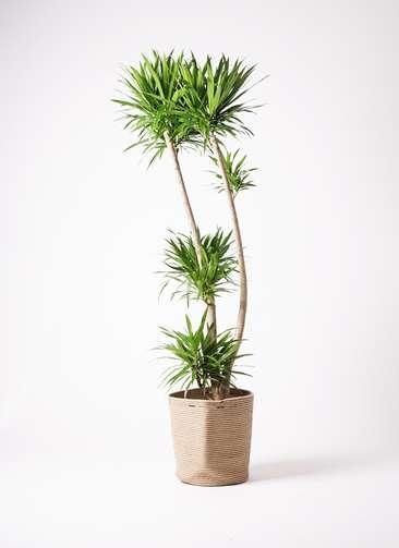 観葉植物 ドラセナ ナビー 10号 リブバスケットNatural 付き