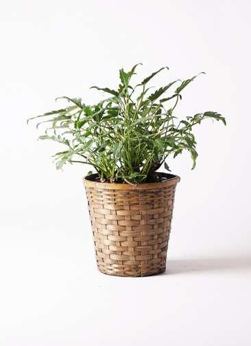 観葉植物 クッカバラ 6号 竹バスケット 付き