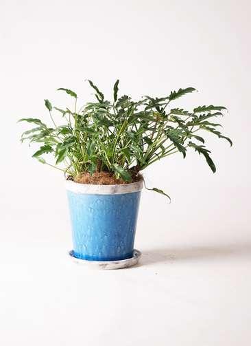 観葉植物 クッカバラ 6号 アンティークテラコッタBlue 付き