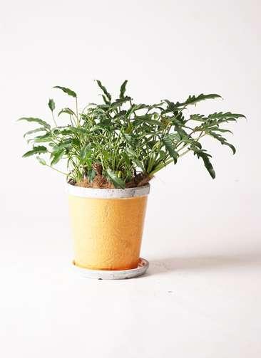 観葉植物 クッカバラ 6号 アンティークテラコッタOrange 付き