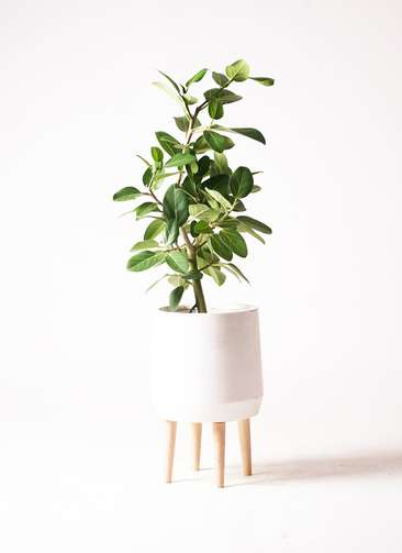 観葉植物 フィカス ベンガレンシス 7号 ファイバークレイ white 付き