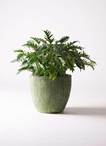 観葉植物 クッカバラ 7号 アビスソニアミドル 緑 付き