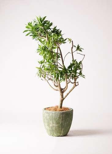 観葉植物 ドラセナ ソング オブ ジャマイカ 8号 アビスソニアミドル 緑 付き