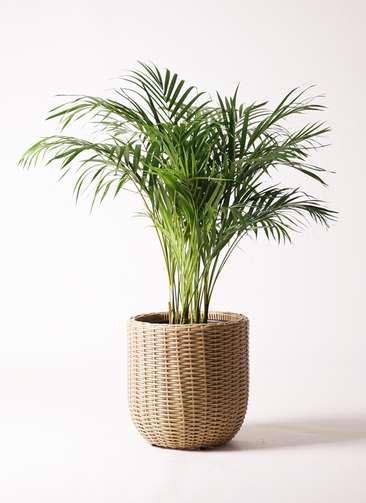 観葉植物 アレカヤシ 8号 ウィッカーポットエッグ ベージュ 付き