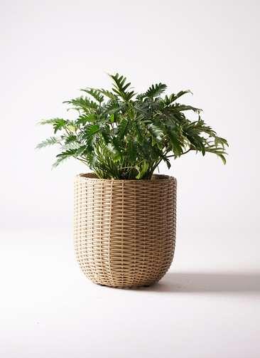 観葉植物 クッカバラ 7号 ウィッカーポットエッグ ベージュ 付き
