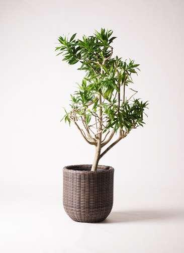 観葉植物 ドラセナ ソング オブ ジャマイカ 8号 ウィッカーポットエッグ 茶 付き