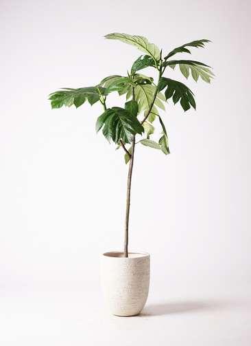 観葉植物 パンノキ 8号 ビアスアルトエッグ 白 付き