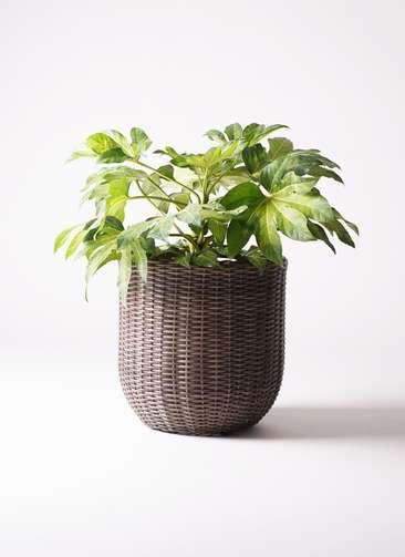 観葉植物 ヤツデ 7号 ウィッカーポットエッグ 茶 付き