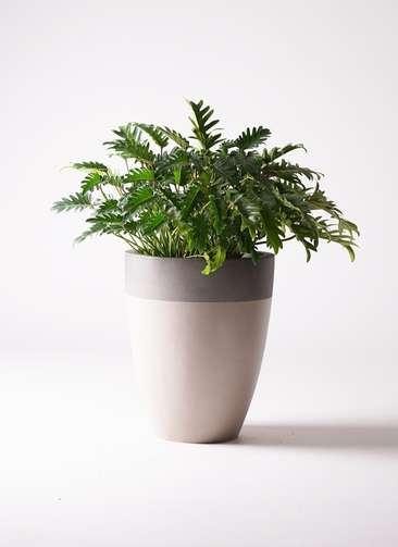 観葉植物 クッカバラ 7号 ファイバーストーンカプリ サンディホワイト 付き