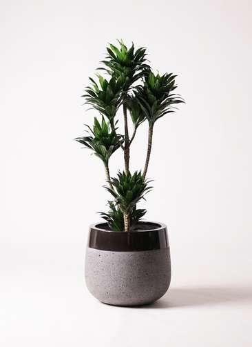 観葉植物 ドラセナ コンパクター 8号 ファイバーストーンタウルス 黒 付き