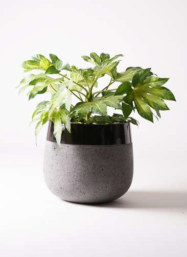 観葉植物 ヤツデ 7号 ファイバーストーンタウルス 黒 付き