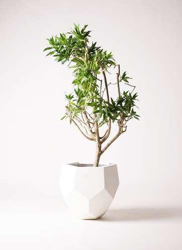 観葉植物 ドラセナ ソング オブ ジャマイカ 8号 ポリゴヘクサ 白 付き