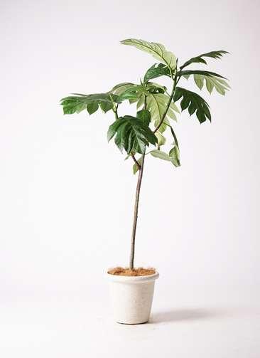 観葉植物 パンノキ 8号 ビアスリムス 白 付き