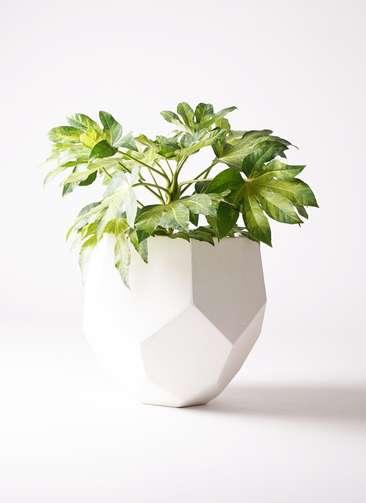 観葉植物 ヤツデ 7号 ポリゴヘクサ 白 付き