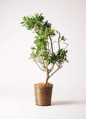 観葉植物 ドラセナ ソング オブ ジャマイカ 8号 竹バスケット 付き