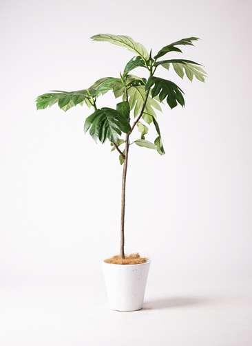 観葉植物 パンノキ 8号 フォリオソリッド 白 付き