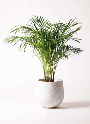 観葉植物 アレカヤシ 8号 エコストーンwhite 付き