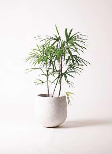 観葉植物 シュロチク(棕櫚竹) 8号 エコストーンwhite 付き