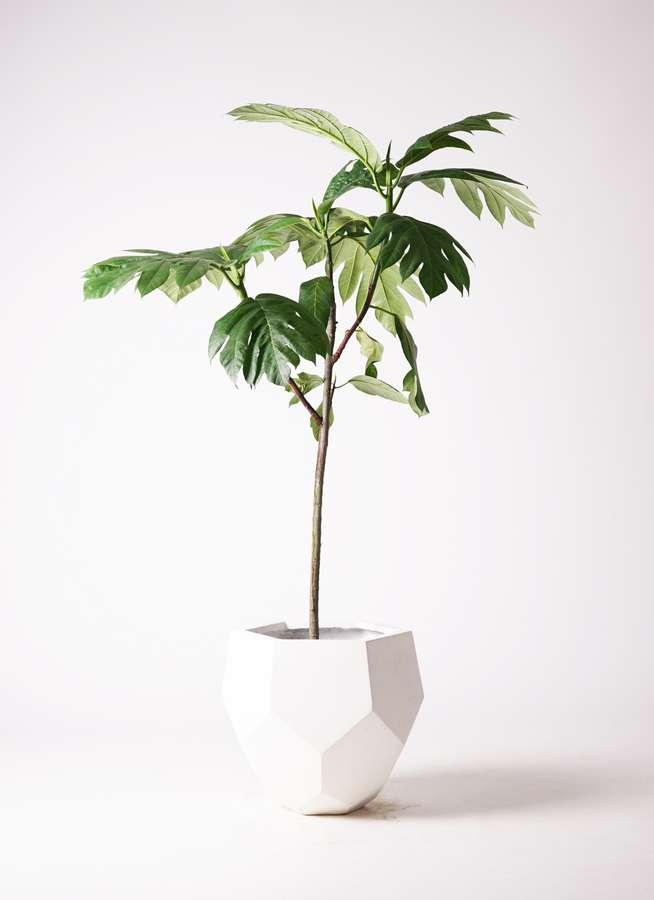 観葉植物 パンノキ 8号 ポリゴヘクサ 白 付き