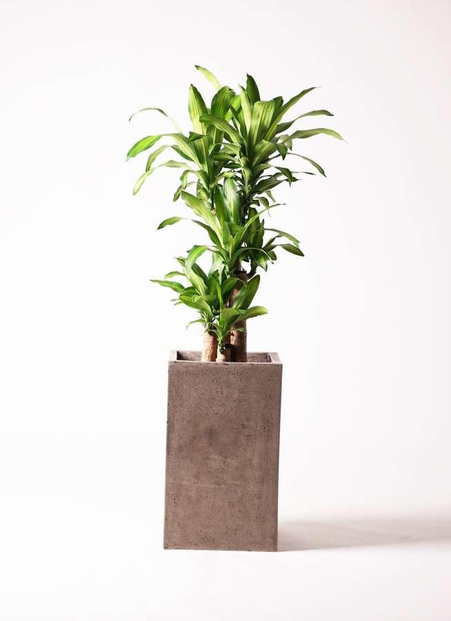 観葉植物 ドラセナ 幸福の木 8号 ノーマル セドナロング グレイ 付き
