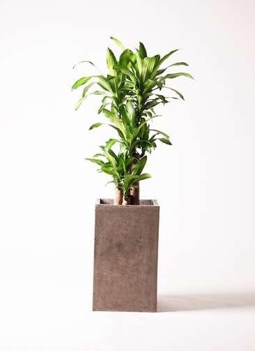 観葉植物 ドラセナ 幸福の木 8号 セドナロング グレイ 付き