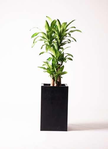 観葉植物 ドラセナ 幸福の木 8号 セドナロング 墨 付き