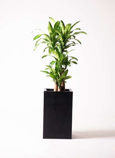 観葉植物 ドラセナ 幸福の木 8号 ノーマル セドナロング 墨 付き