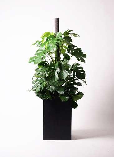 観葉植物 モンステラ 10号 ヘゴ柱 セドナロング 墨 付き
