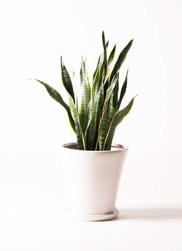 観葉植物 サンスベリア 8号 トラノオ サブリナ 白 付き