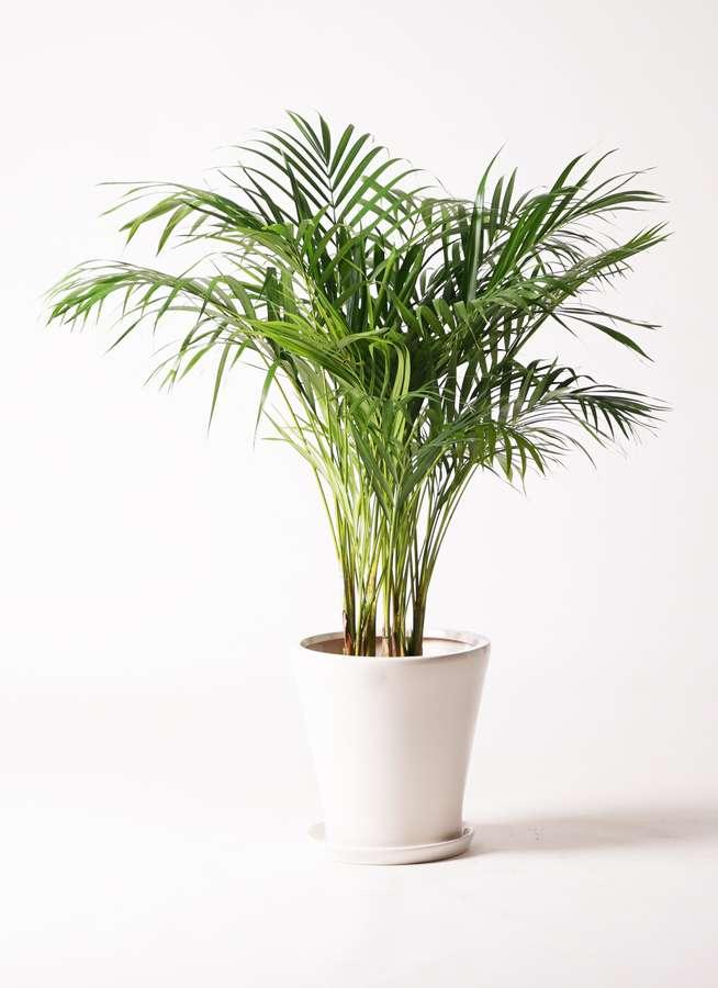 観葉植物 アレカヤシ 8号 サブリナ 白 付き