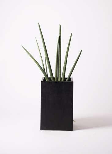 観葉植物 サンスベリア スタッキー 10号 セドナロング 墨 付き