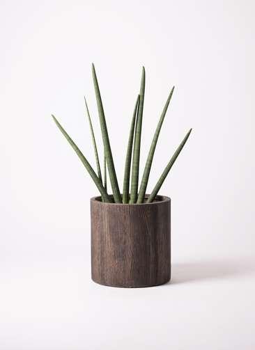 観葉植物 サンスベリア スタッキー 10号 アルファシリンダープランター 付き