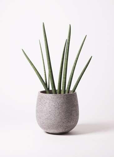 観葉植物 サンスベリア スタッキー 10号 エコストーンGray 付き