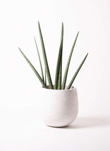 観葉植物 サンスベリア スタッキー 10号 エコストーンwhite 付き