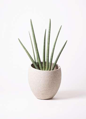 観葉植物 サンスベリア スタッキー 10号 エコストーンLight Gray 付き