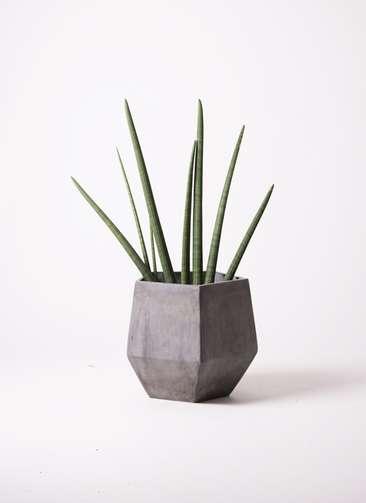 観葉植物 サンスベリア スタッキー 10号 ファイバークレイGray 付き