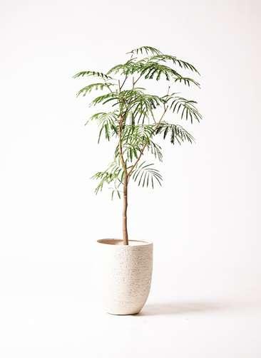 観葉植物 エバーフレッシュ 8号 ボサ造り ビアスアルトエッグ 白 付き