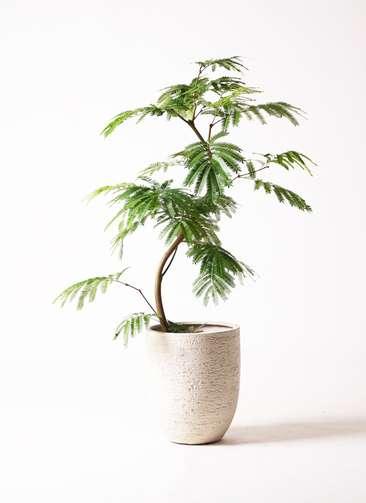 観葉植物 エバーフレッシュ 8号 曲り ビアスアルトエッグ 白 付き
