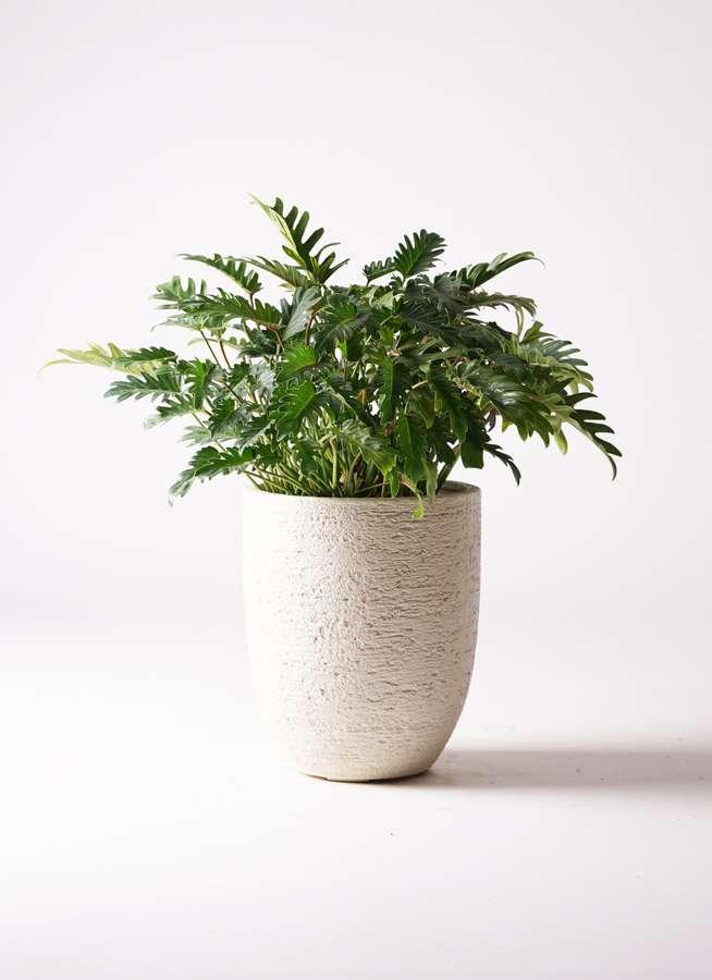 観葉植物 クッカバラ 7号 ビアスアルトエッグ 白 付き