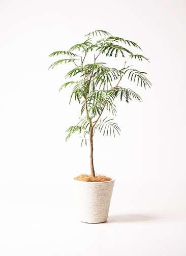 観葉植物 エバーフレッシュ 8号 ビアスソリッド 白 付き