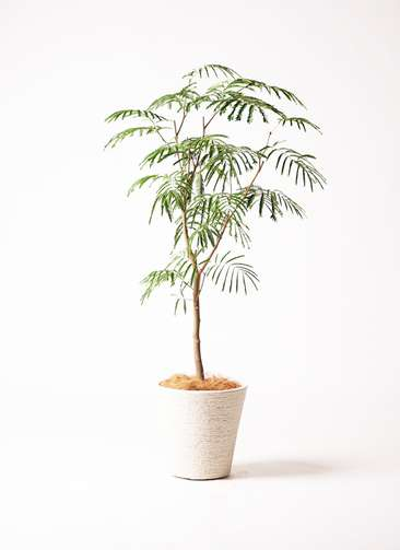 観葉植物 エバーフレッシュ 8号 ボサ造り ビアスソリッド 白 付き