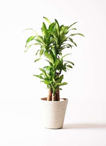 観葉植物 ドラセナ 幸福の木 8号 ノーマル ビアスソリッド 白 付き