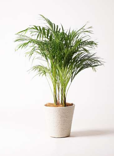 観葉植物 アレカヤシ 8号 ビアスソリッド 白 付き